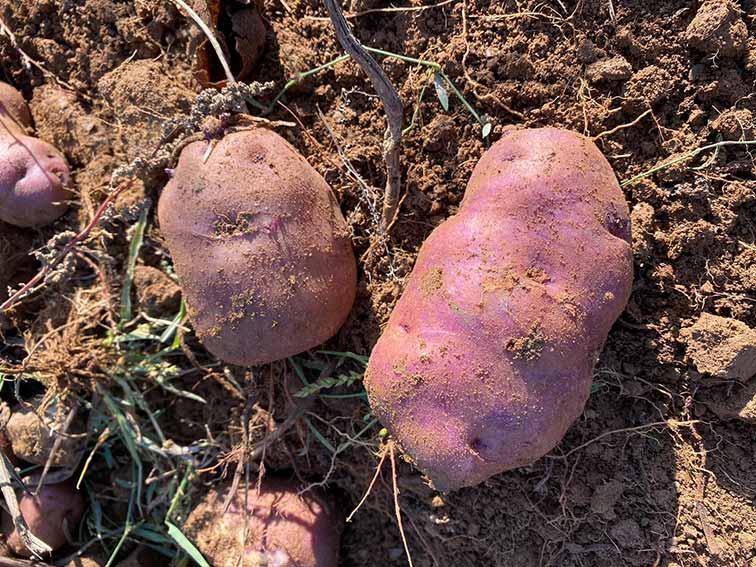 patata viola arsac