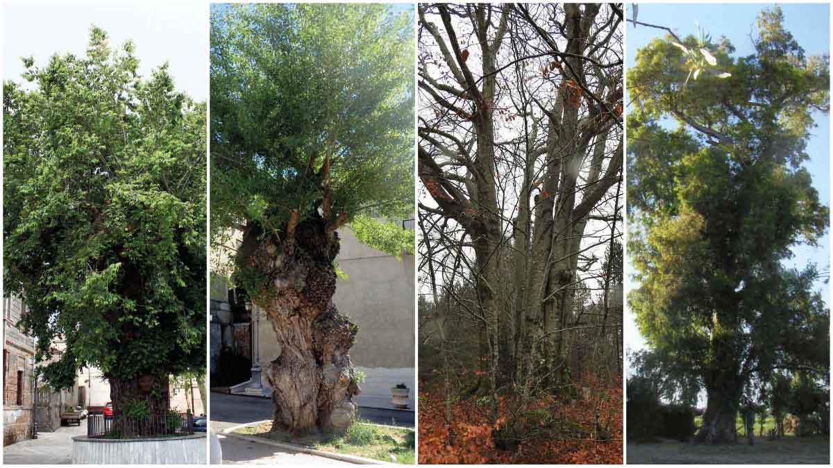alberi monumentali Calabria