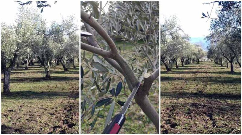 potaura olivo