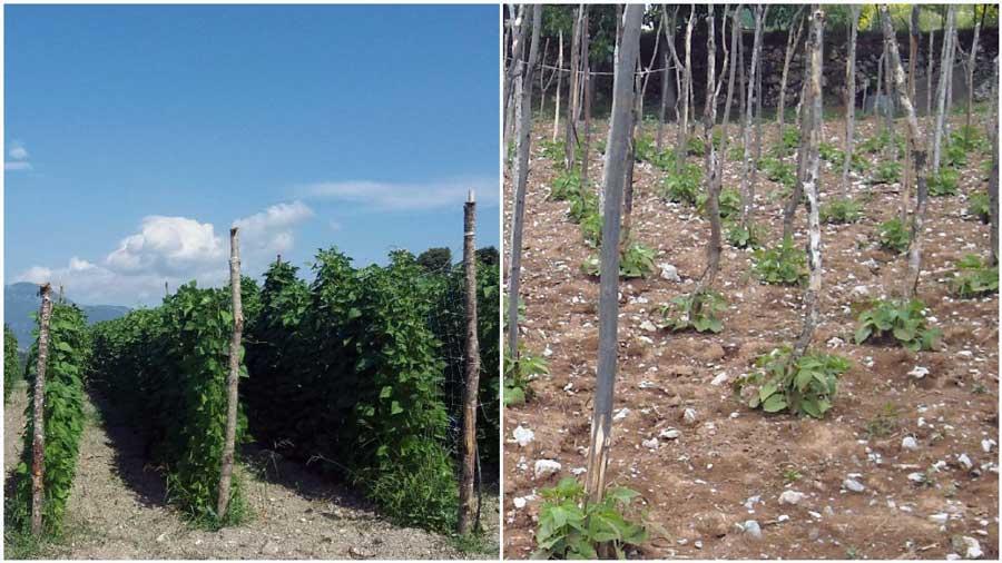 tecnica-coltivazione-poverello