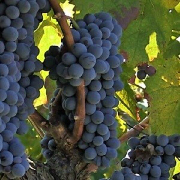 magliocco-canino-vitigno
